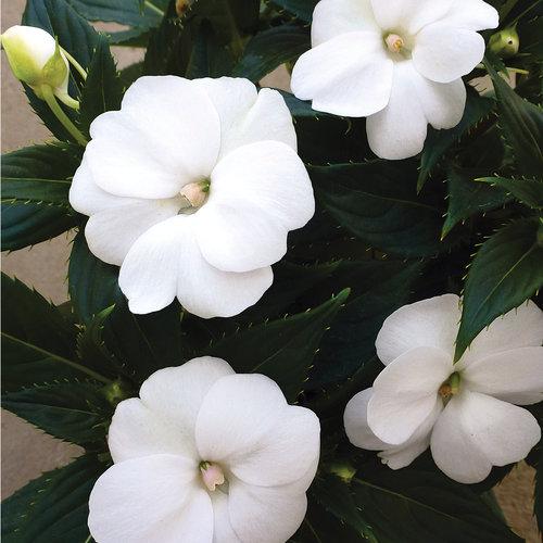 Sunpatiens Compact White