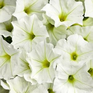 Supertunia White