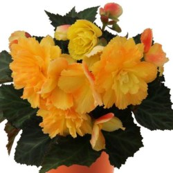 Begonia – I'Conia – Portofino Citrix Hanging Basket
