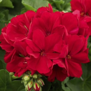 Calliope Dark Red Large Hanging Basket