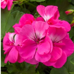Calliope Large Hot Pink Hanging Basket