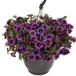 Calibrachoa – Aloha Purple Sky Hanging Basket