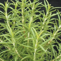 Barbecue Rosemary
