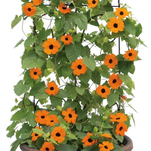 Thurnbergia Black Eyed Susan on Vine