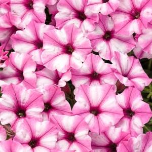Supertunia Mini Vista Pink Star