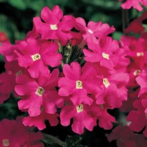 Verbena Lanai Deep Pink