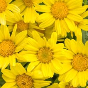 """Argyranthemum Marguerite Daisy """"Butterfly"""""""
