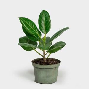 Audrey Ficus