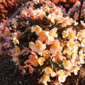 Begonia Becio Peach