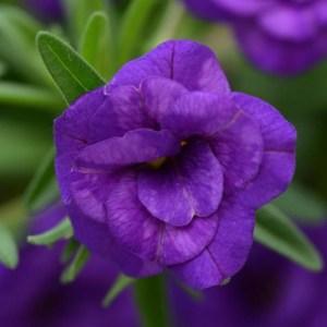 Calibrachoa MiniFamous Neo DBL Dark Blue