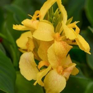 Canna Lily Cannova Yellow