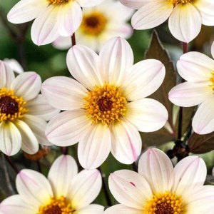 Dahlia Happy Days White