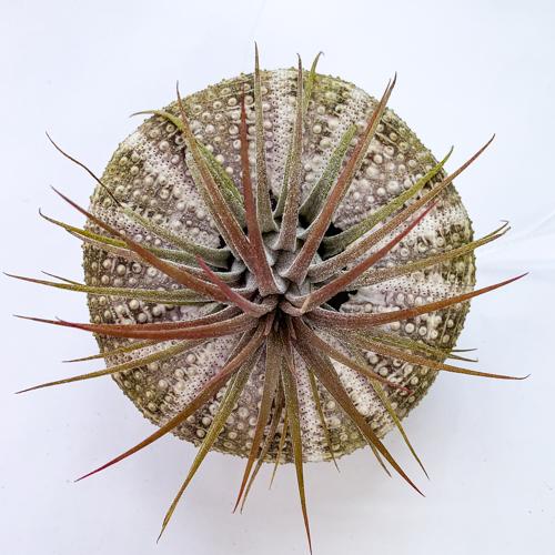 Hanging urchin large