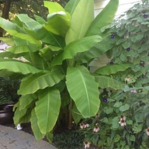 Japanese Bananas Hardy (Musa Basjoo)