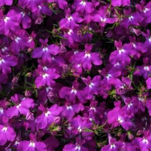 Lobelia Magadi Electric Purple