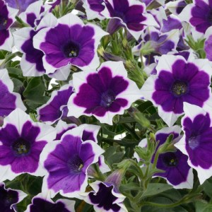 Petunia Cascadias Rim Violet