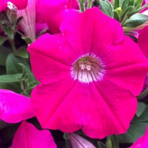 Petunia Wave Neon Rose