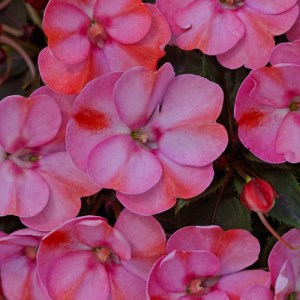 Sun Patiens Compact Pink Candy
