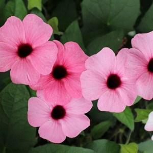 Thunbergia Arizona Rose Sensation