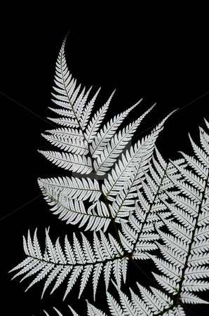 silver, fern, new zealand, icon, iconic, south pacific, rugby, all, blacks