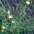 Mexican water primrose/Ludwigia octovalvis. Photo: Mary Carol Edwards