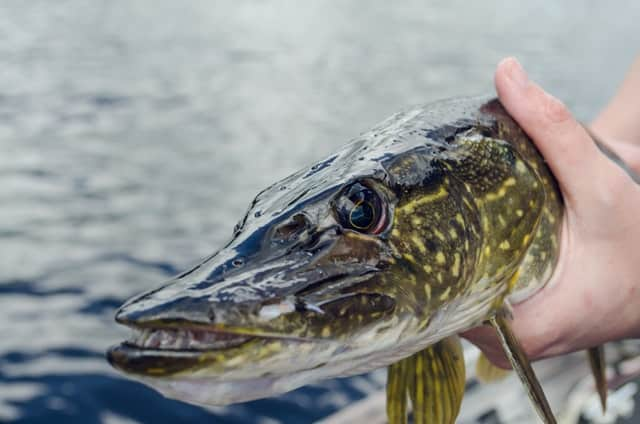 best northern pike fishing in united states