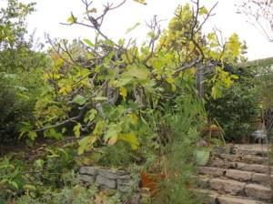 'Brown Turkey' Fig Post-Pruning