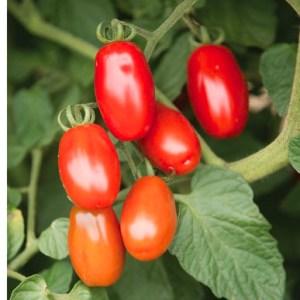 'Valentine' grape tomato