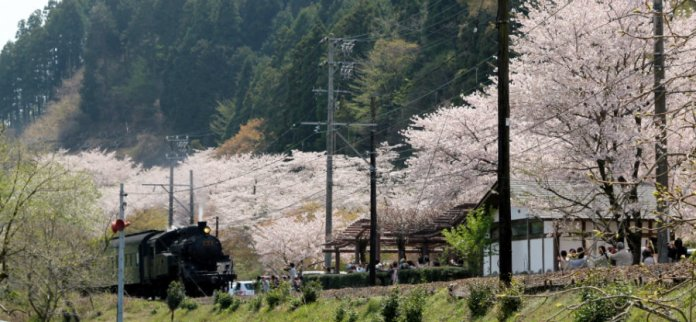 5 oikawa-railway-cherry-blossoms