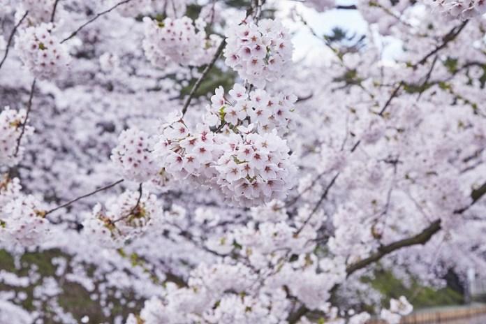 Hirosaki-Sakura-day_337