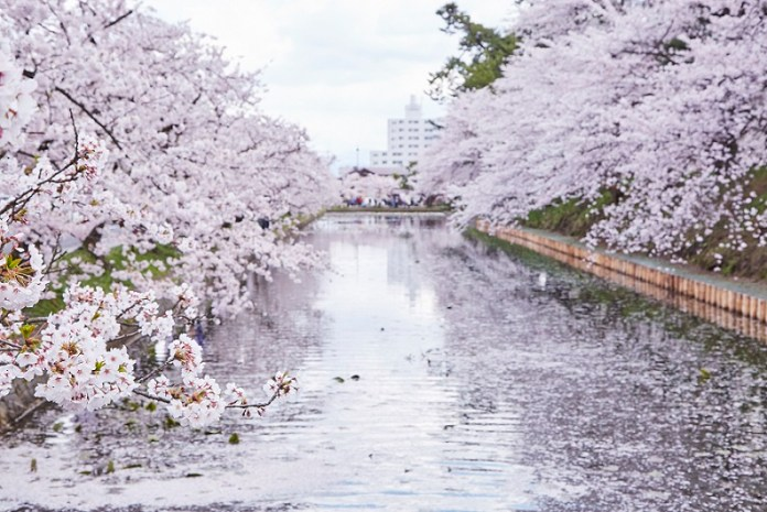 Hirosaki-Sakura-day_342