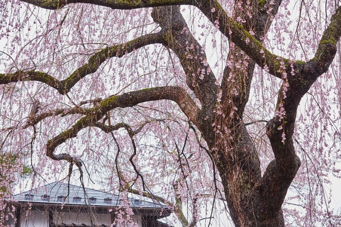 Kakunodate-Sakura_122