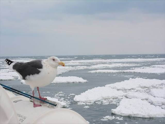 Seagull (Umineko)