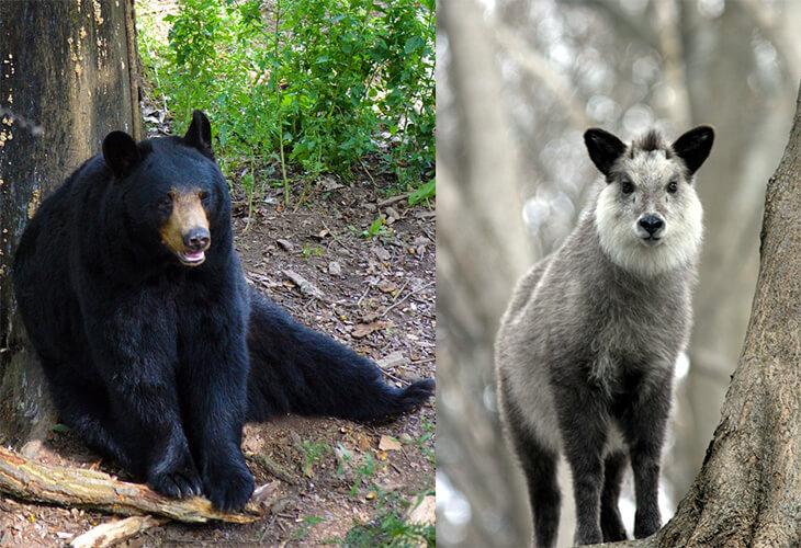 Black bear and Japanese serow