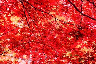 Maple2_s