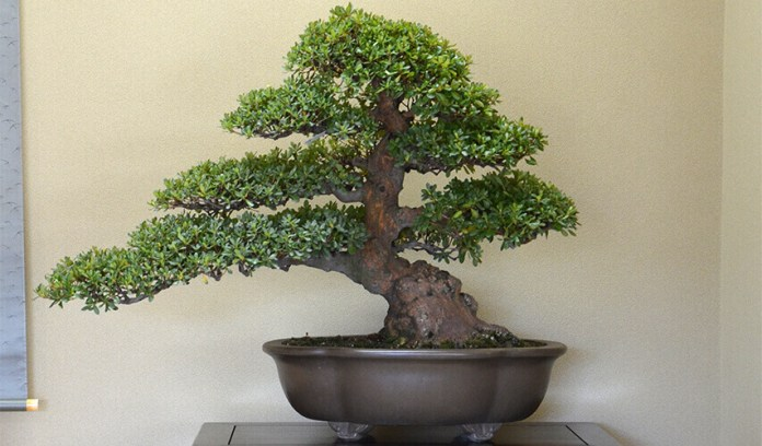 bonsaiportada