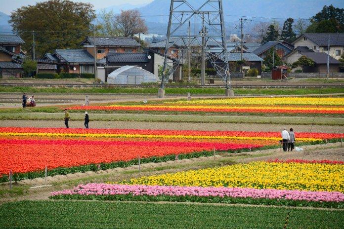 Gosen tulip festival