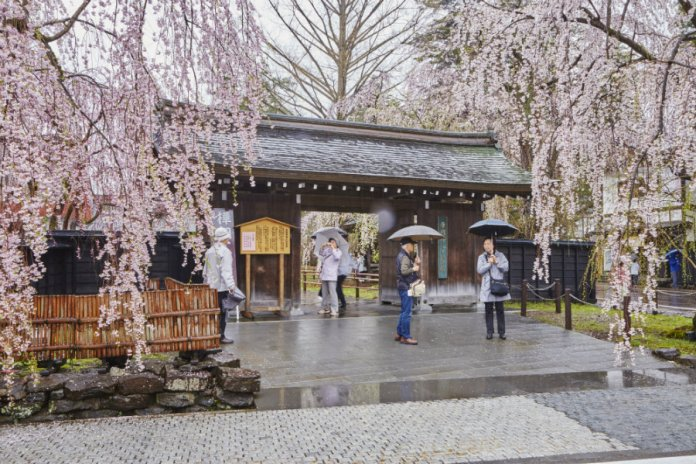 Kakunodate cherry blossoms in the rain