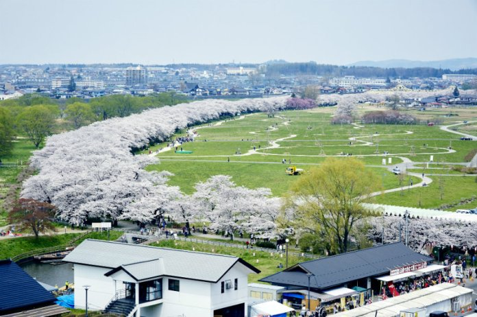 Kitakami cherry blossoms from above