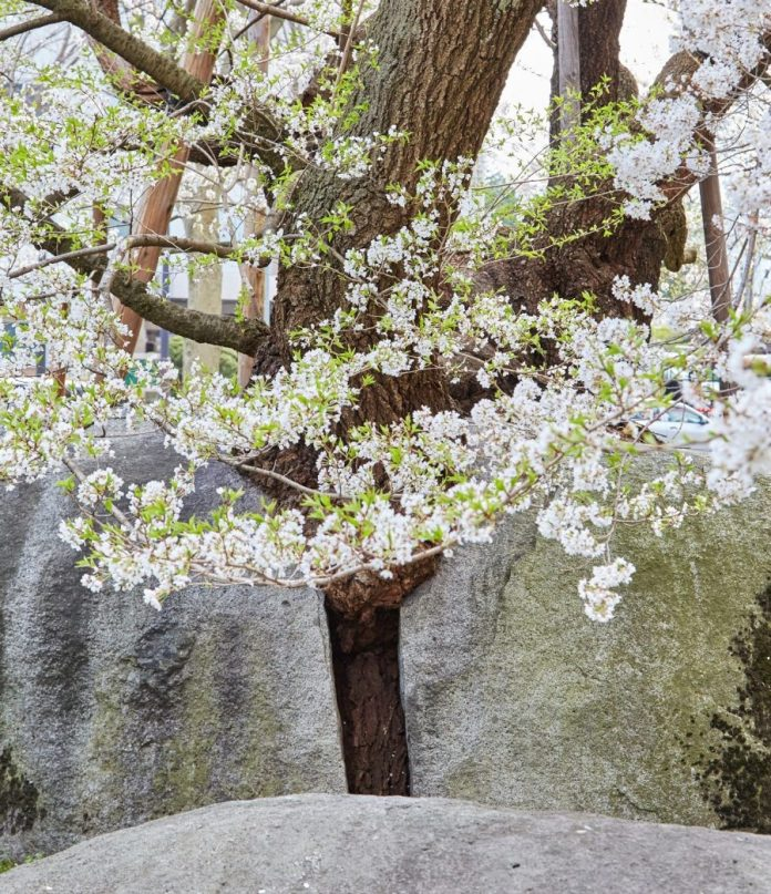 Morioka Sakura the rock breaking cherry tree 1
