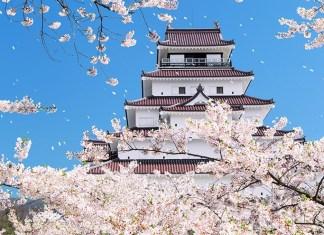 cherry blossoms in Tohoku castle area