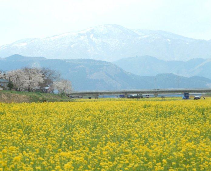 rapeseed flowers in Osaku Naruko onsen
