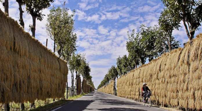 The avenue of hazagi for hanging and drying harveted  rice in Niigata-shi(city)   ©Niigata Visitors & Convention Bureau