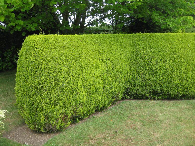 Create a Head High Hedge - Watters Garden Center