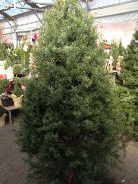 christmas tree - When Does The Christmas Tree Go Up