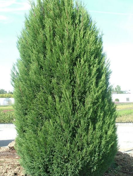 Leyland Cypress Christmas Tree Watters Garden Center
