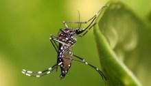 Aedes Aegypti in Dar es Salaam, Tanzania, author Muhammad Mahdi Karim, source Wikimedia
