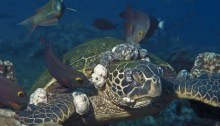 This Hawaiian green turtle is severely afflicted with fibropapillomatosis. The mouth tumors, which are unique to Hawaiian greens, can also occur inside the mouth and throat, impairing breathing and eating. The eye tumors impair vision and can blind the turtle. The large tumors around the flippers can impair swimming. Although FP tumors are benign, they can easily be a significant factor in a turtle's death. Author Peter Bennett & Ursula Keuper-Bennett, source Wikimedia