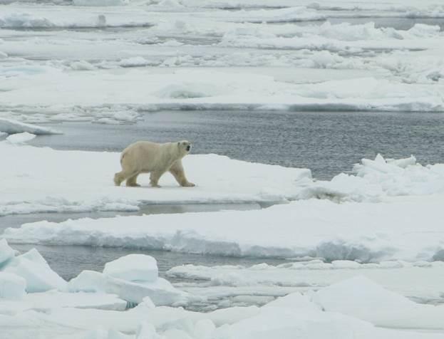 Has recent summer sea ice loss caused polar bear populations