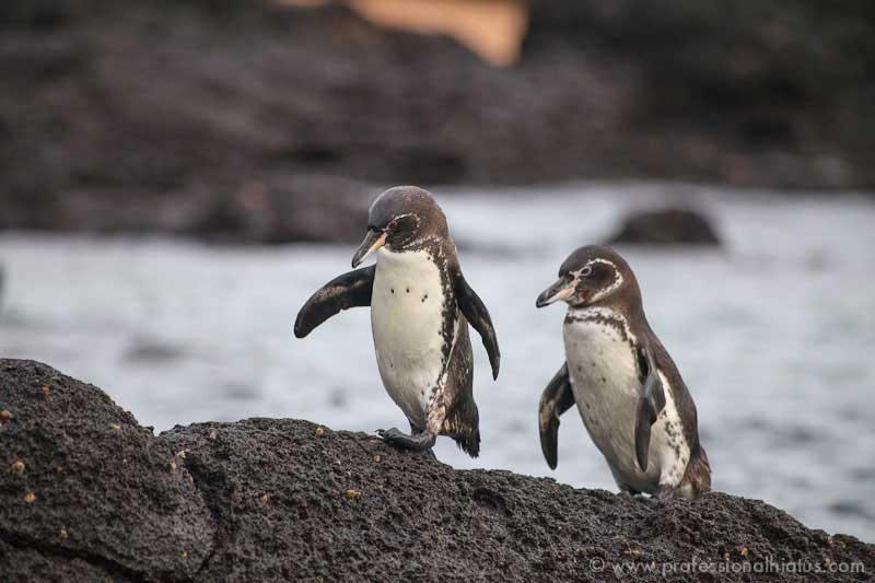 galapagos_penguins
